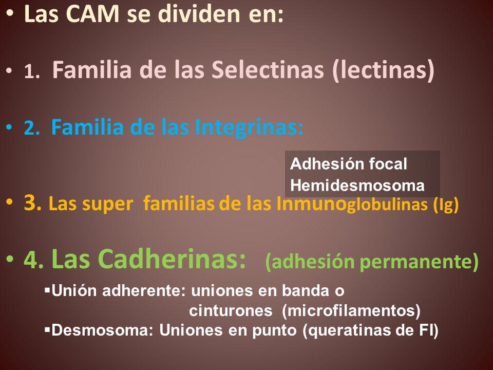 4. Las Cadherinas: (adhesión permanente)