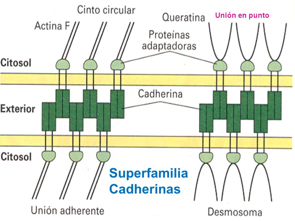 Las Cadherinas Superfamilia Cadherinas