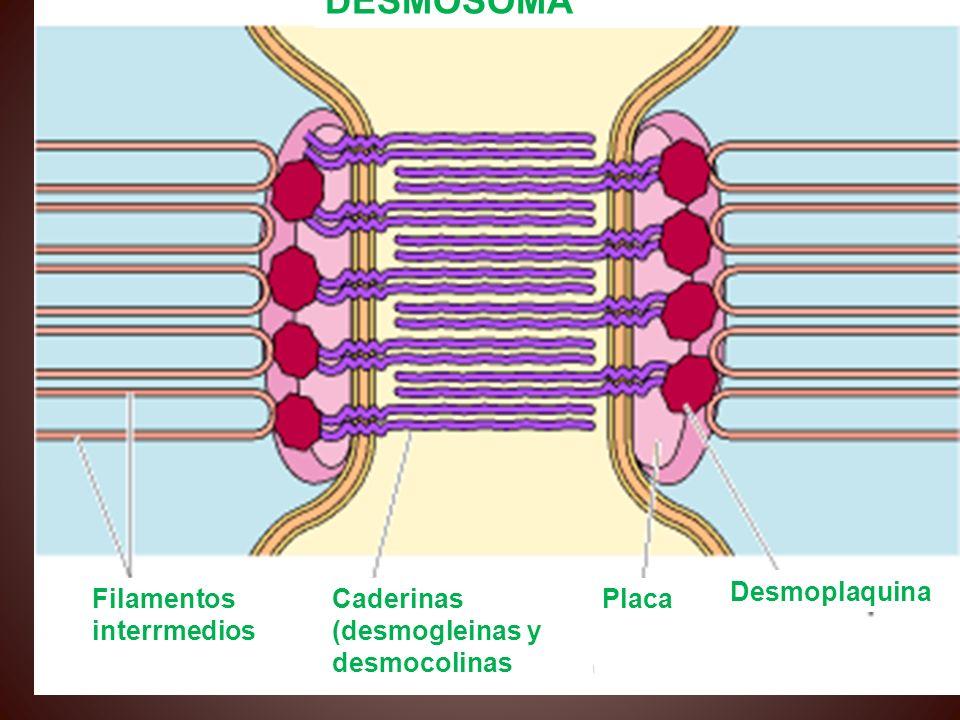 LOS DESMOSOMAS DESMOSOMA