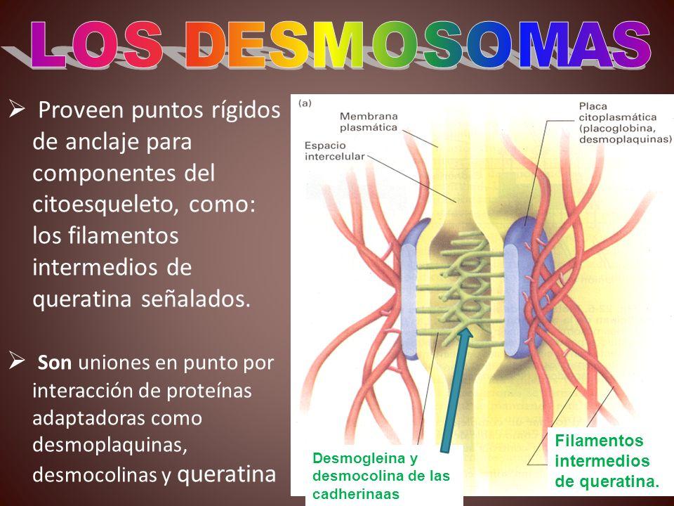 LOS DESMOSOMAS Proveen puntos rígidos de anclaje para componentes del citoesqueleto, como: los filamentos intermedios de queratina señalados.