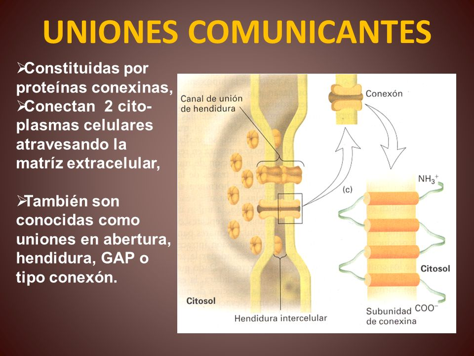 UNIONES COMUNICANTES Constituidas por proteínas conexinas,