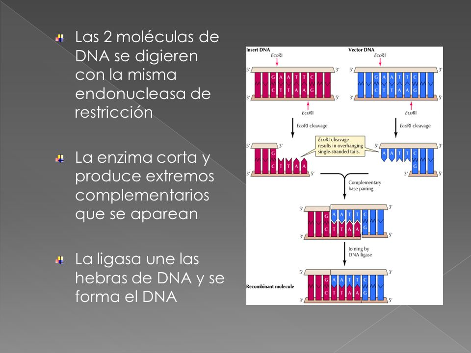 Las 2 moléculas de DNA se digieren con la misma endonucleasa de restricción