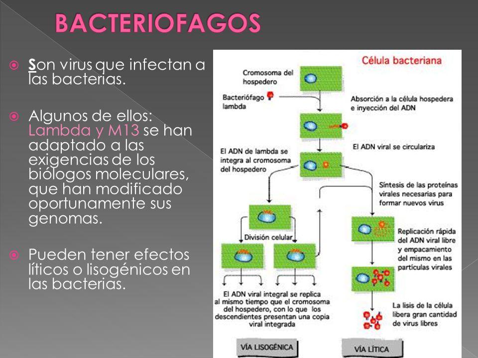 BACTERIOFAGOS Son virus que infectan a las bacterias.