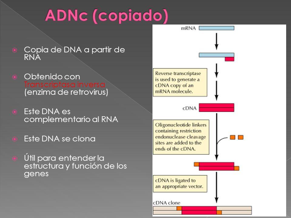 ADNc (copiado) Copia de DNA a partir de RNA