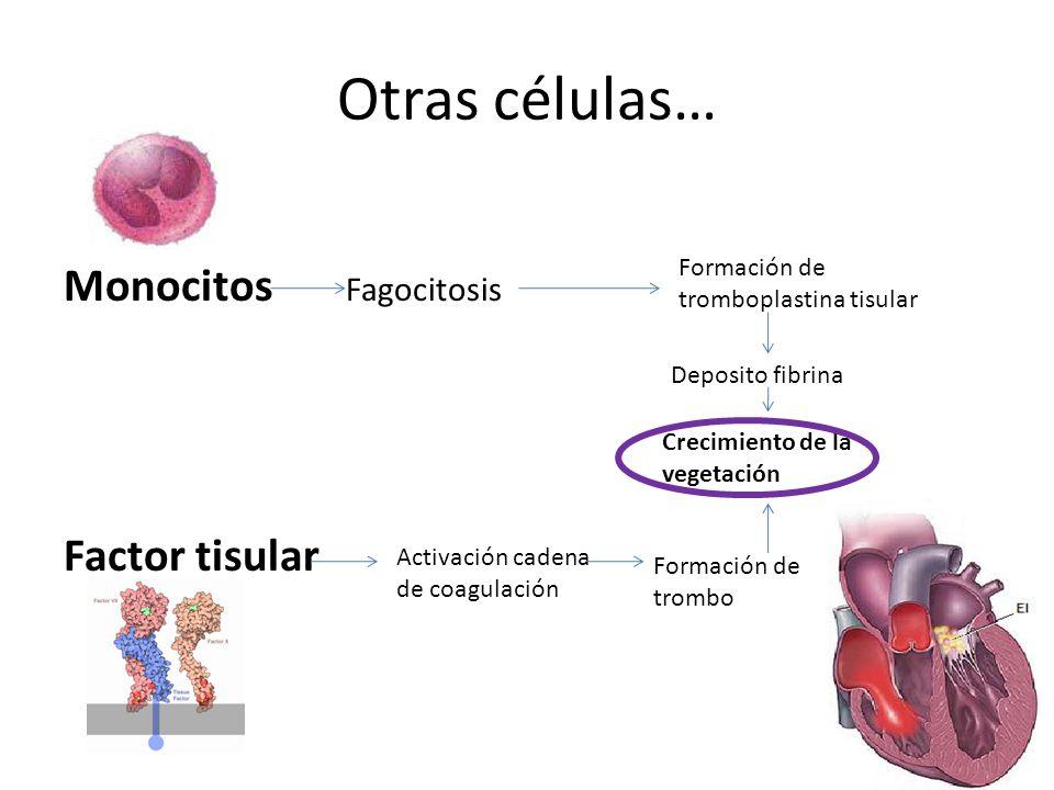 Otras células… Monocitos Fagocitosis Factor tisular