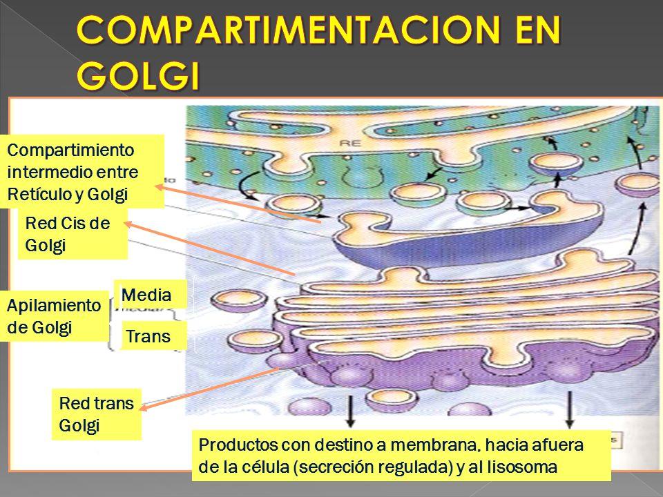 COMPARTIMENTACION EN GOLGI