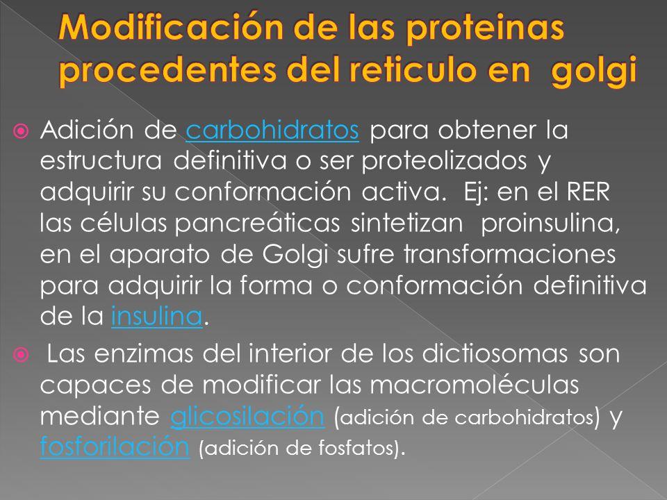 Modificación de las proteinas procedentes del reticulo en golgi