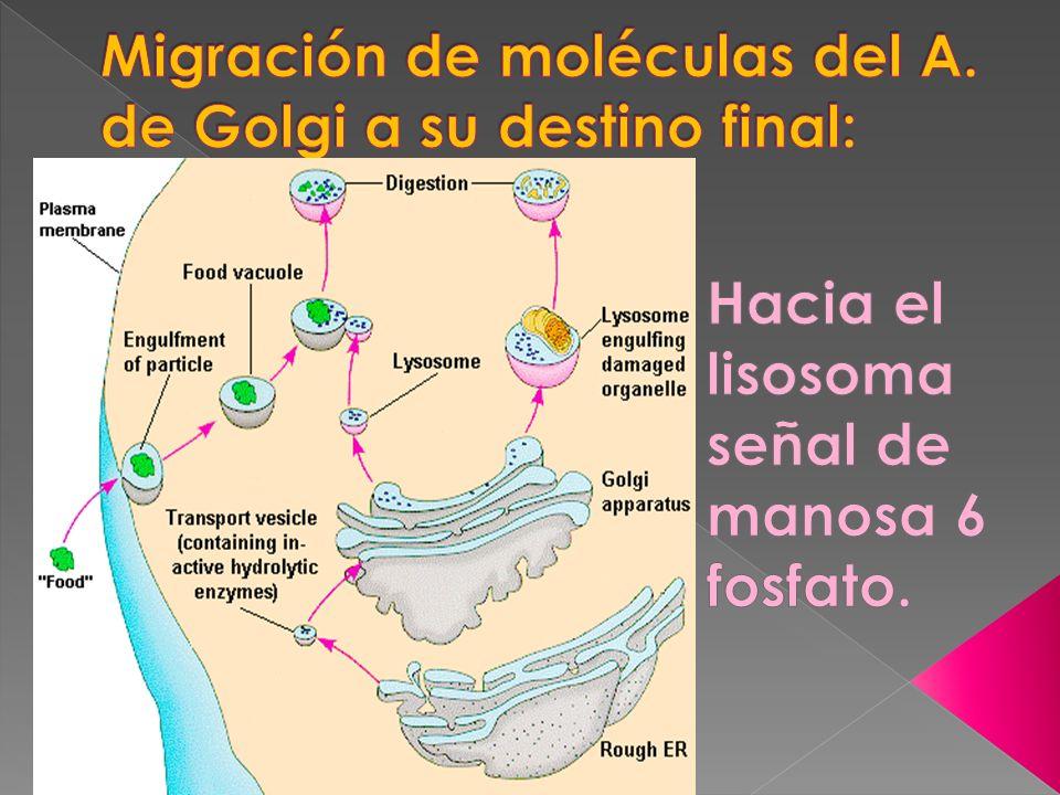 Migración de moléculas del A. de Golgi a su destino final: