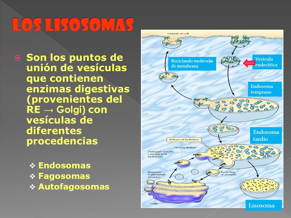 Los lisosomas