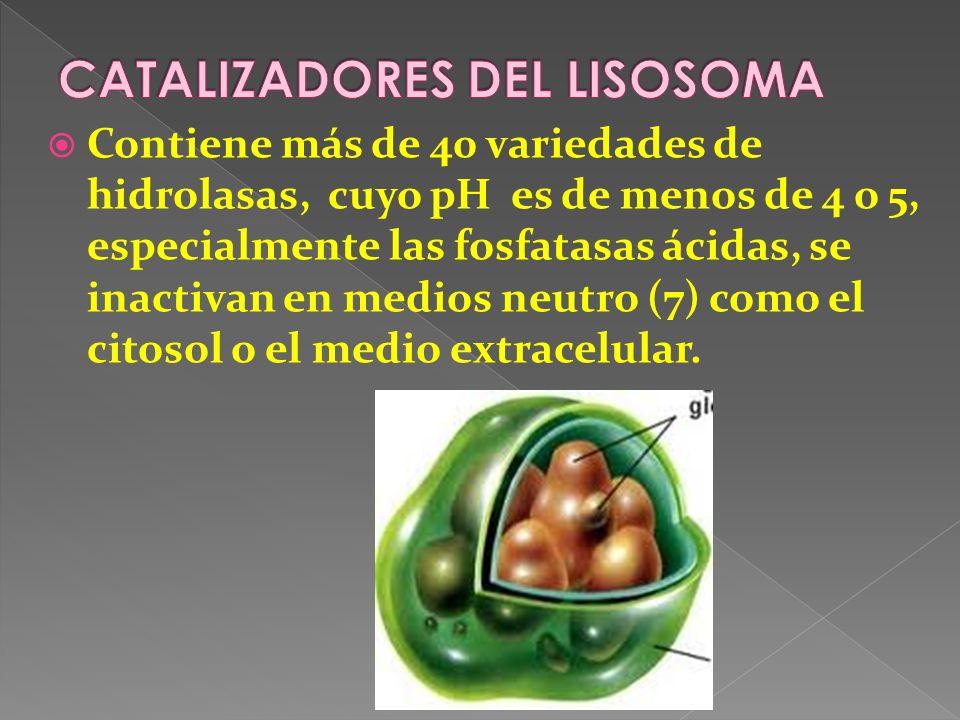 CATALIZADORES DEL LISOSOMA