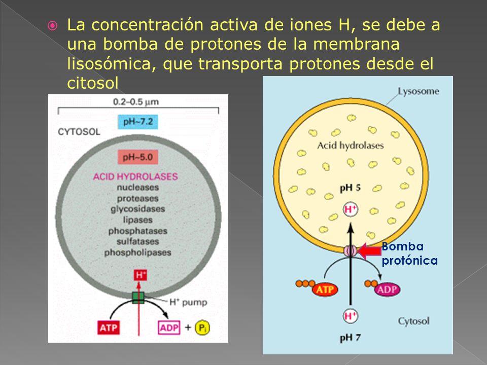 La concentración activa de iones H, se debe a una bomba de protones de la membrana lisosómica, que transporta protones desde el citosol