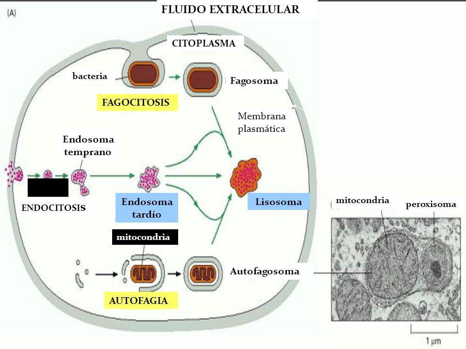 FLUIDO EXTRACELULAR Fagosoma FAGOCITOSIS Membrana plasmática