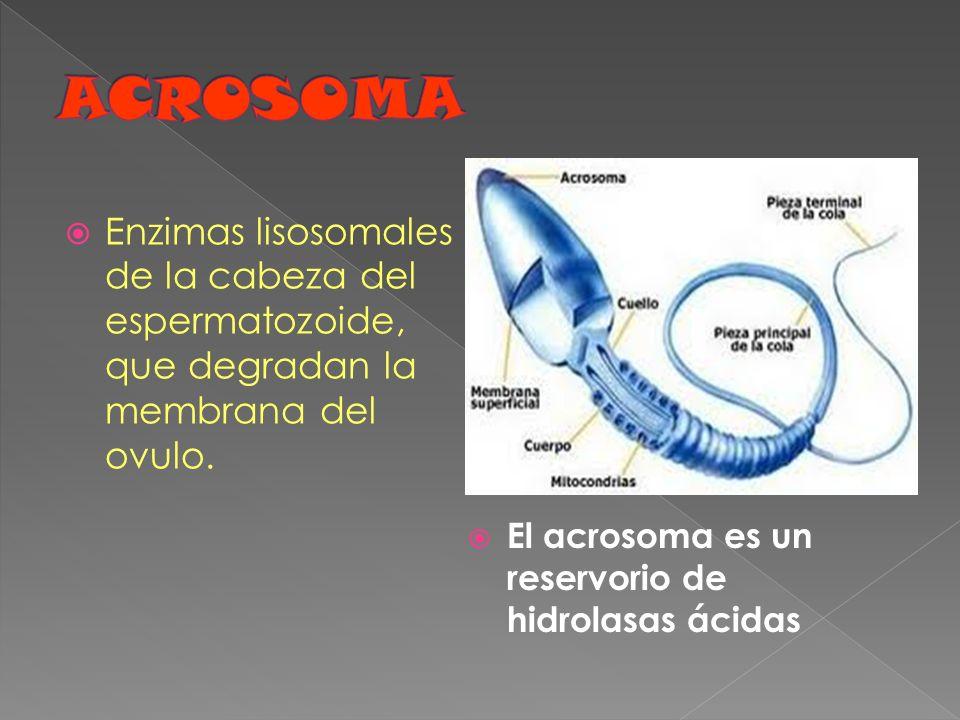 ACROSOMA El acrosoma es un reservorio de hidrolasas ácidas.