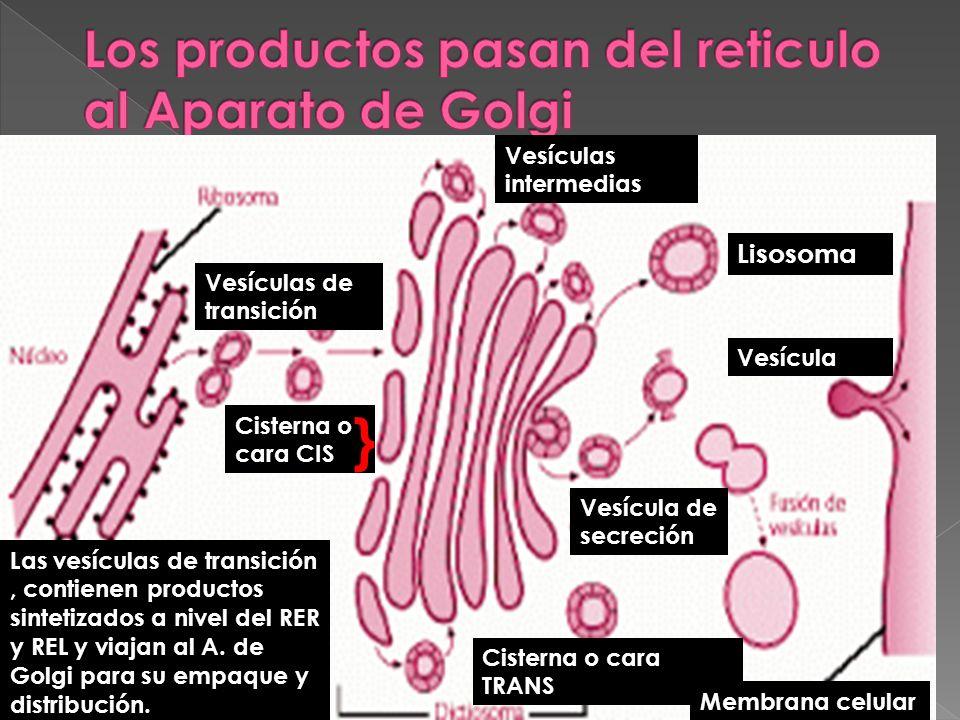 Los productos pasan del reticulo al Aparato de Golgi
