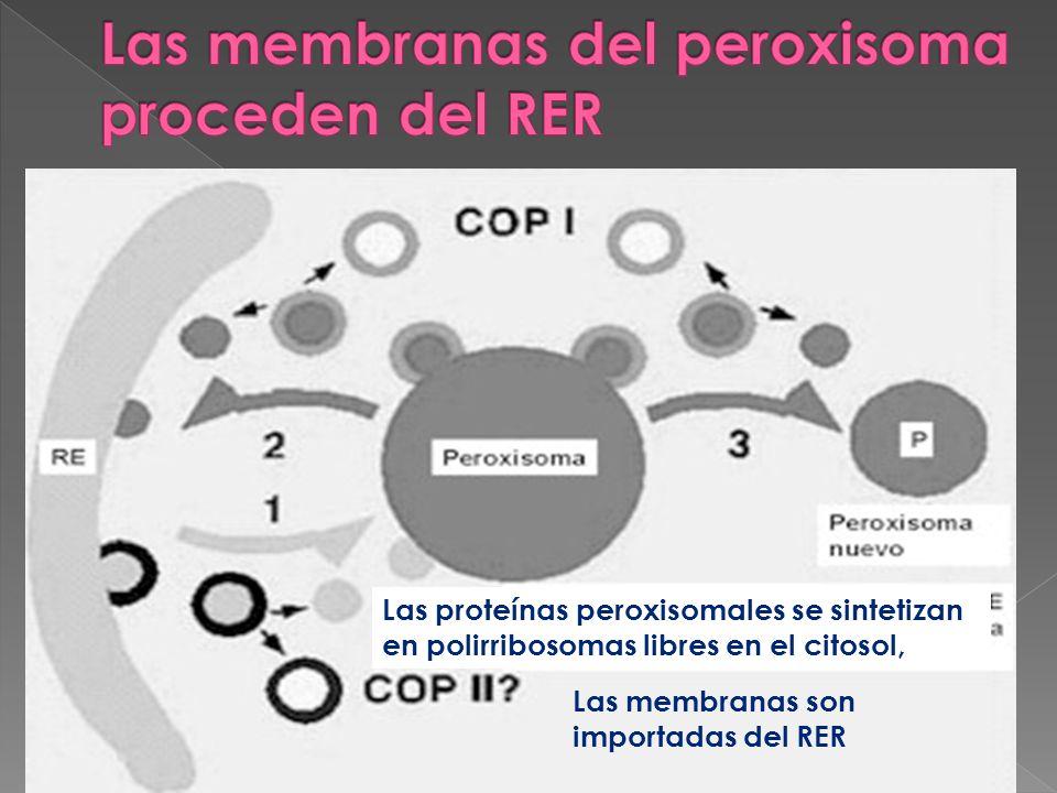 Las membranas del peroxisoma proceden del RER