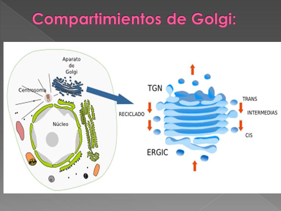 Compartimientos de Golgi: