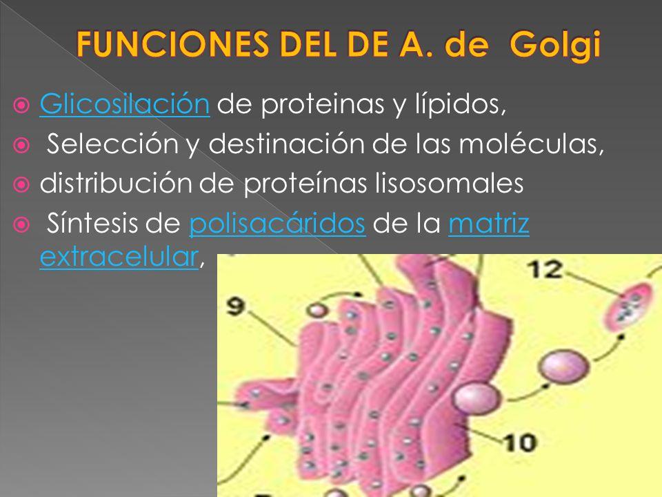 FUNCIONES DEL DE A. de Golgi