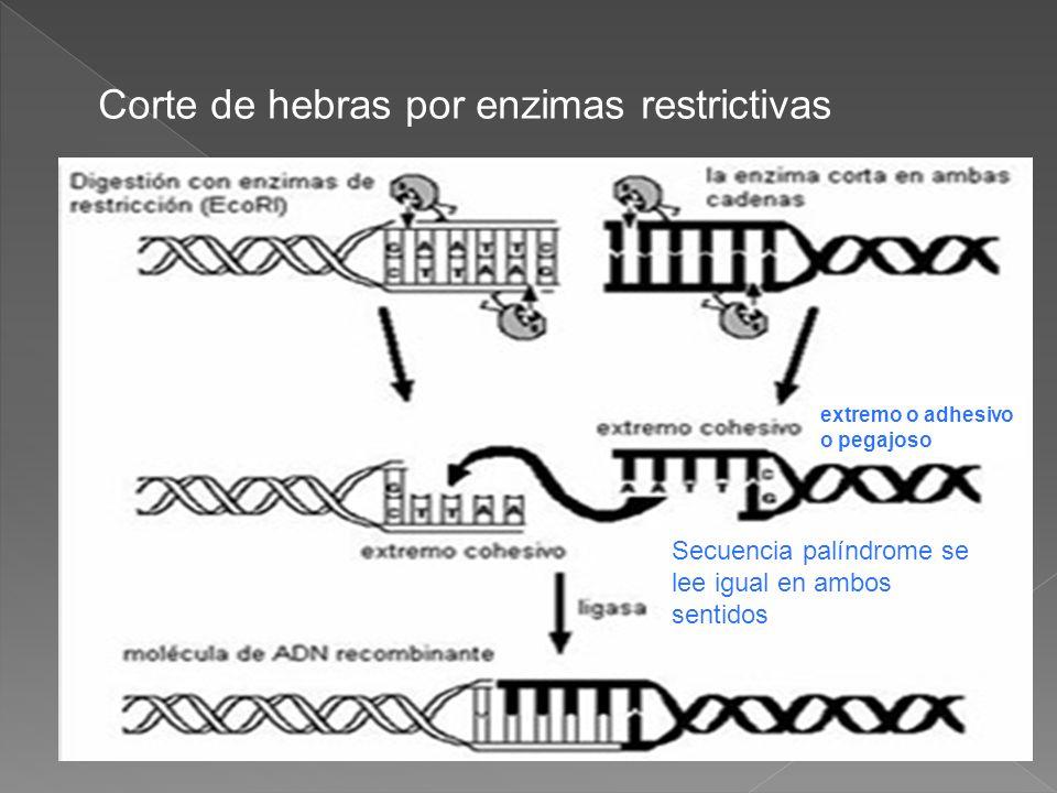 Corte de hebras por enzimas restrictivas