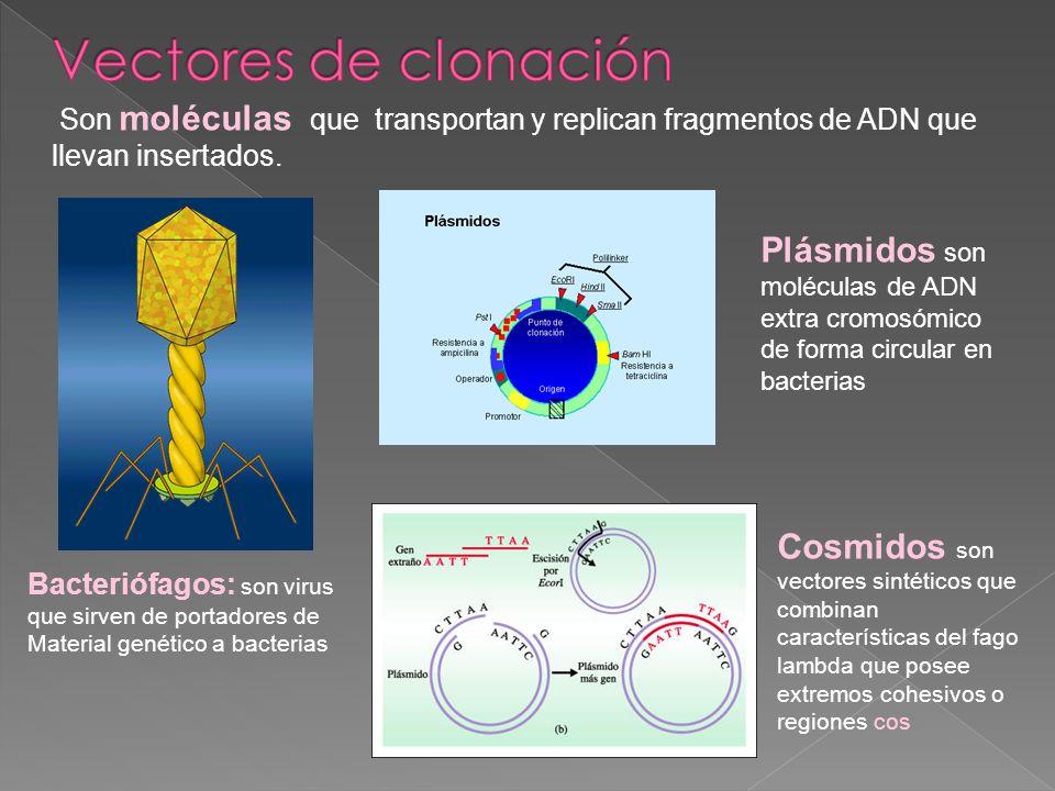 Vectores de clonación Son moléculas que transportan y replican fragmentos de ADN que llevan insertados.