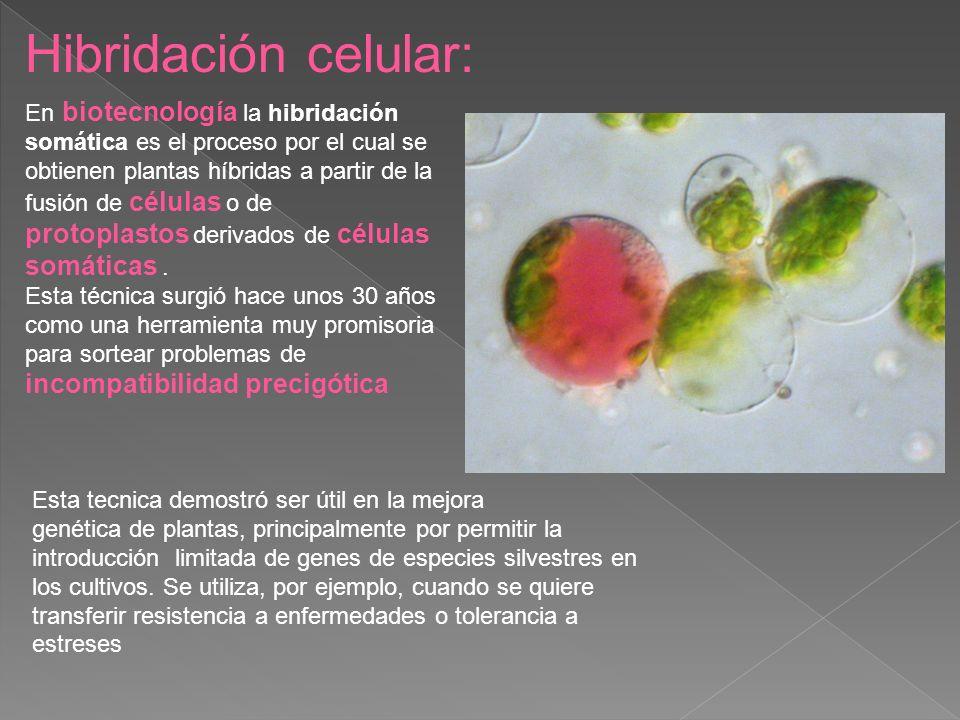 Hibridación celular: incompatibilidad precigótica