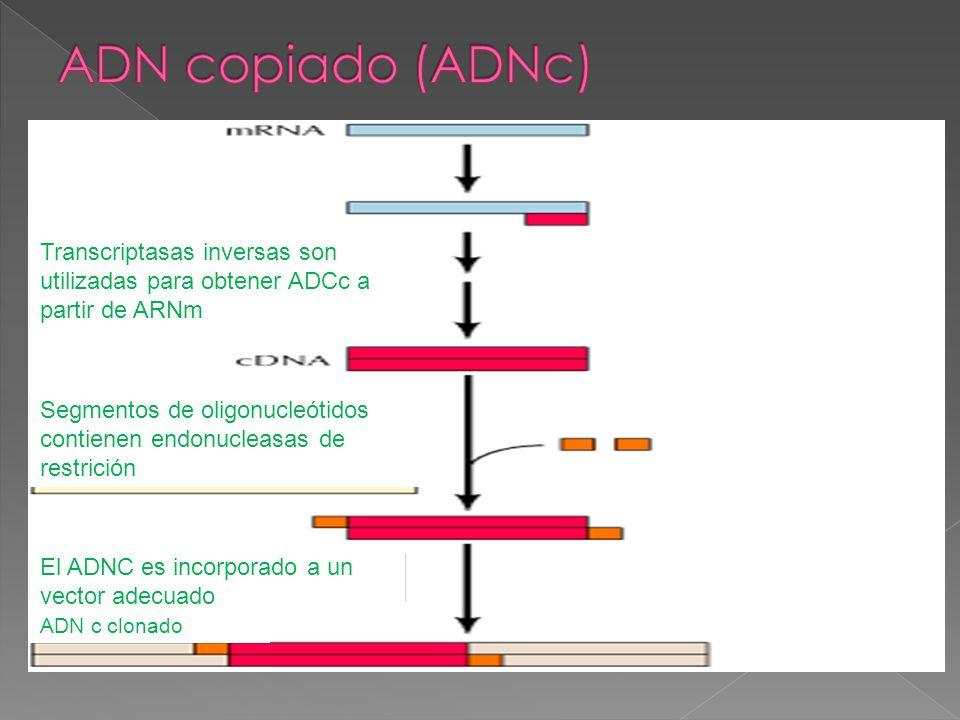 ADN copiado (ADNc) Transcriptasas inversas son utilizadas para obtener ADCc a partir de ARNm.