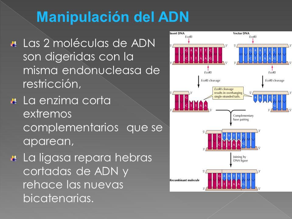 Manipulación del ADN Las 2 moléculas de ADN son digeridas con la misma endonucleasa de restricción,