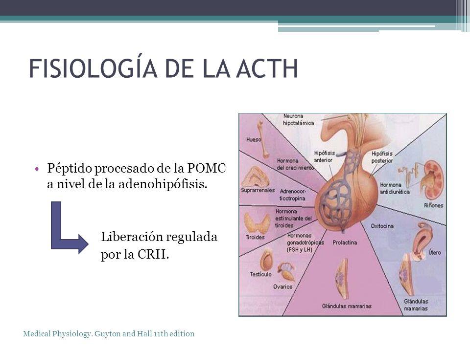 FISIOLOGÍA DE LA ACTH Péptido procesado de la POMC a nivel de la adenohipófisis. Liberación regulada.