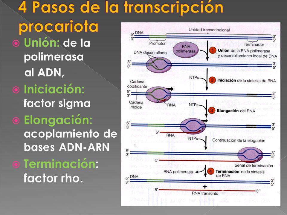 4 Pasos de la transcripción procariota