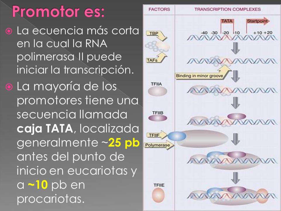 Promotor es: La ecuencia más corta en la cual la RNA polimerasa II puede iniciar la transcripción.