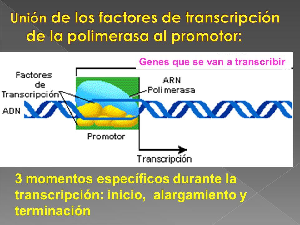 Unión de los factores de transcripción de la polimerasa al promotor: