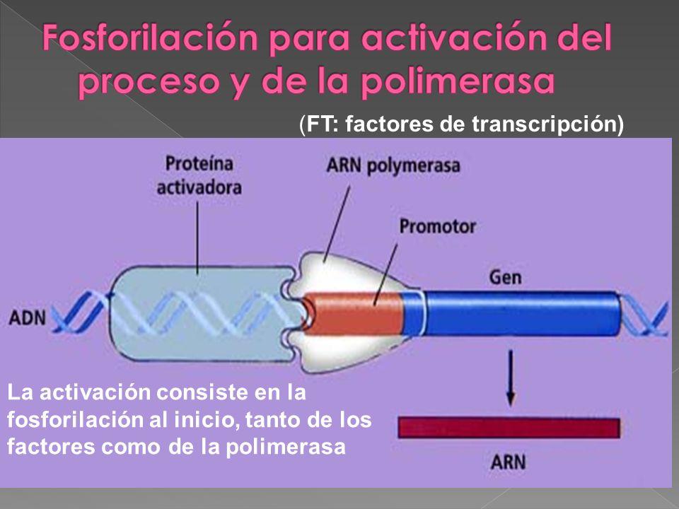 Fosforilación para activación del proceso y de la polimerasa