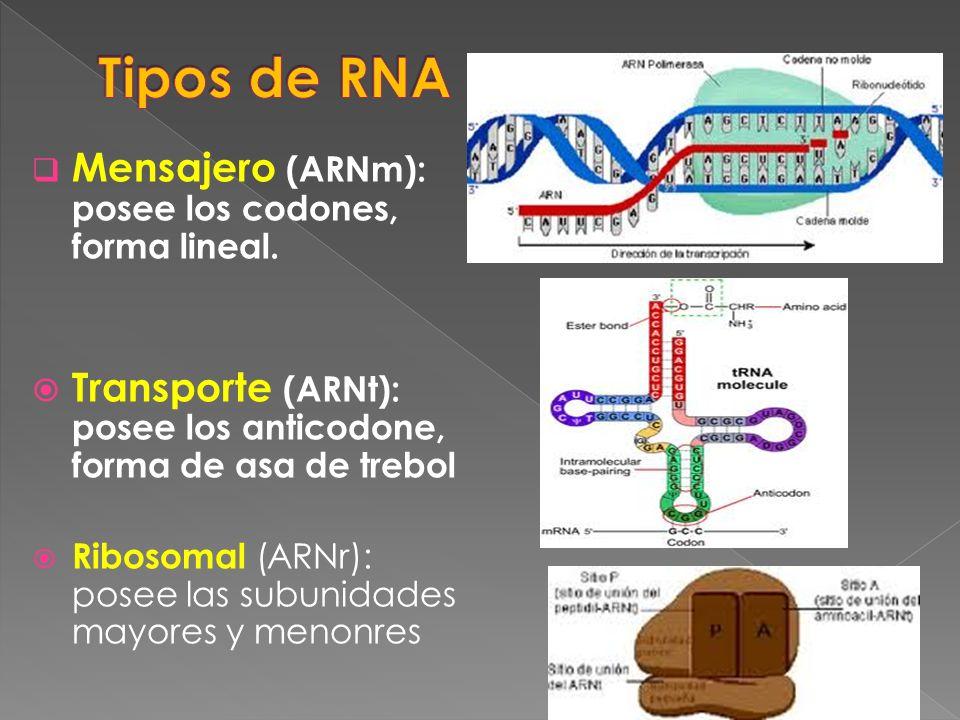 Tipos de RNA Mensajero (ARNm): posee los codones, forma lineal.