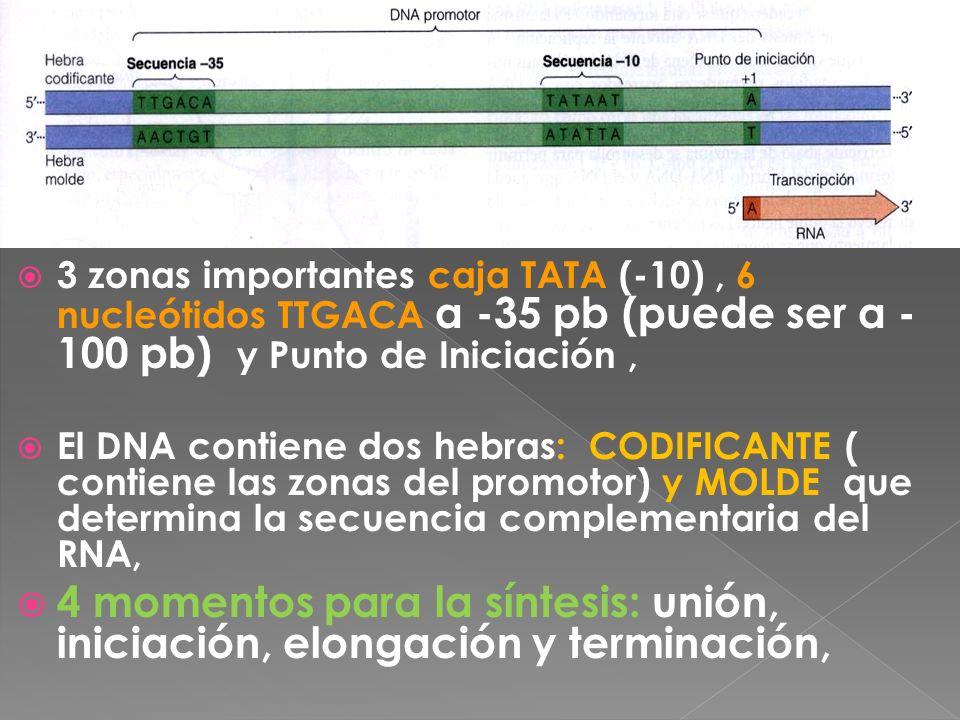 3 zonas importantes caja TATA (-10) , 6 nucleótidos TTGACA a -35 pb (puede ser a -100 pb) y Punto de Iniciación ,
