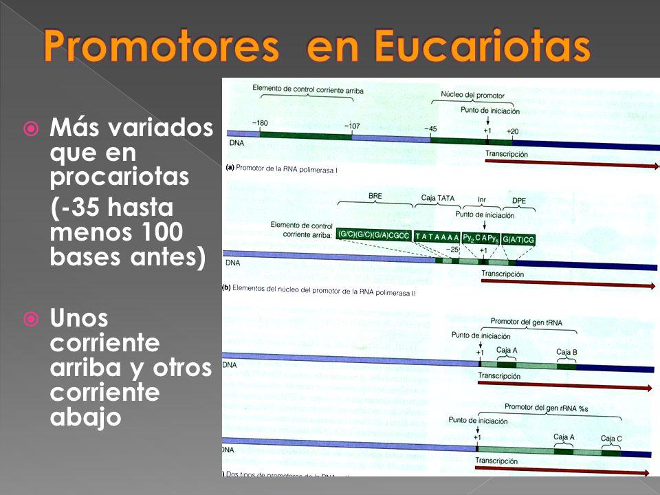 Promotores en Eucariotas