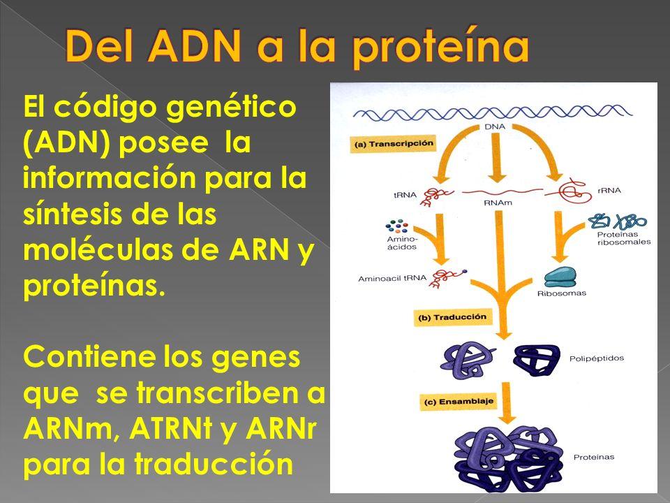 Del ADN a la proteína El código genético (ADN) posee la información para la síntesis de las moléculas de ARN y proteínas.