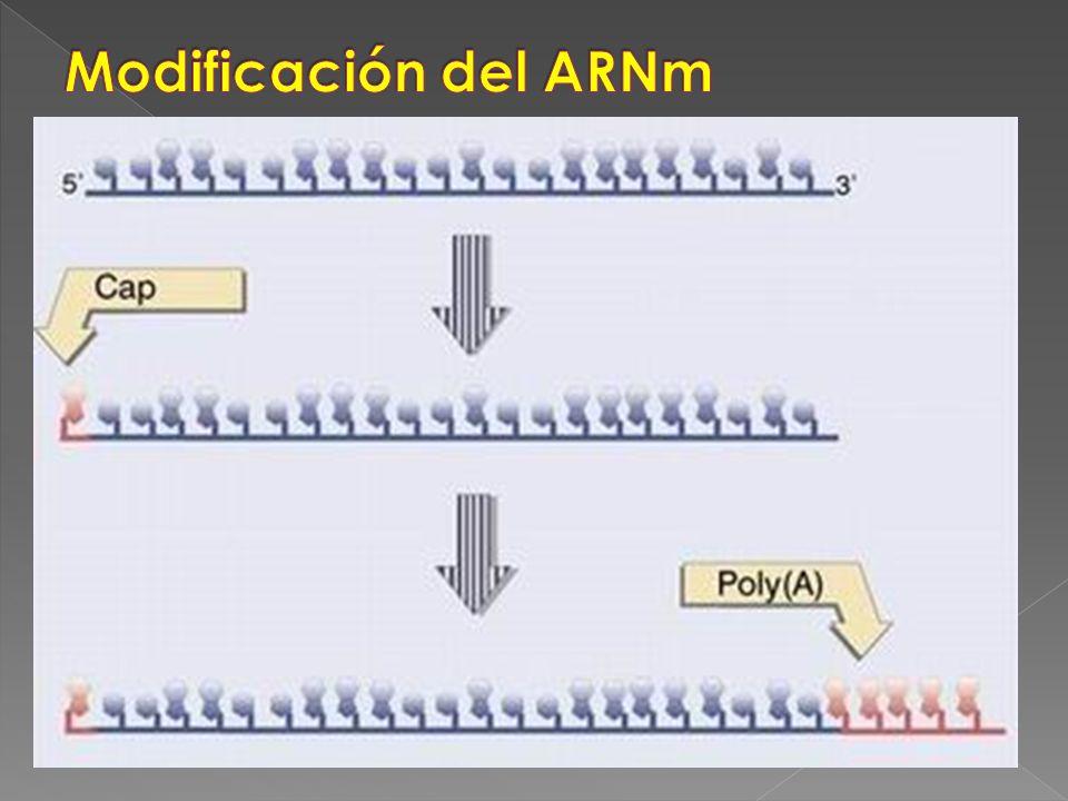 Modificación del ARNm
