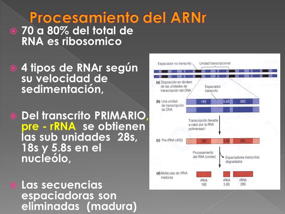 Procesamiento del ARNr