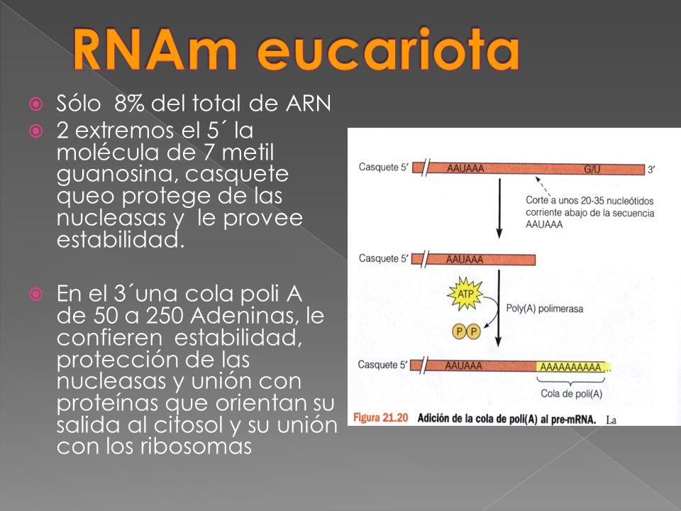 RNAm eucariota Sólo 8% del total de ARN