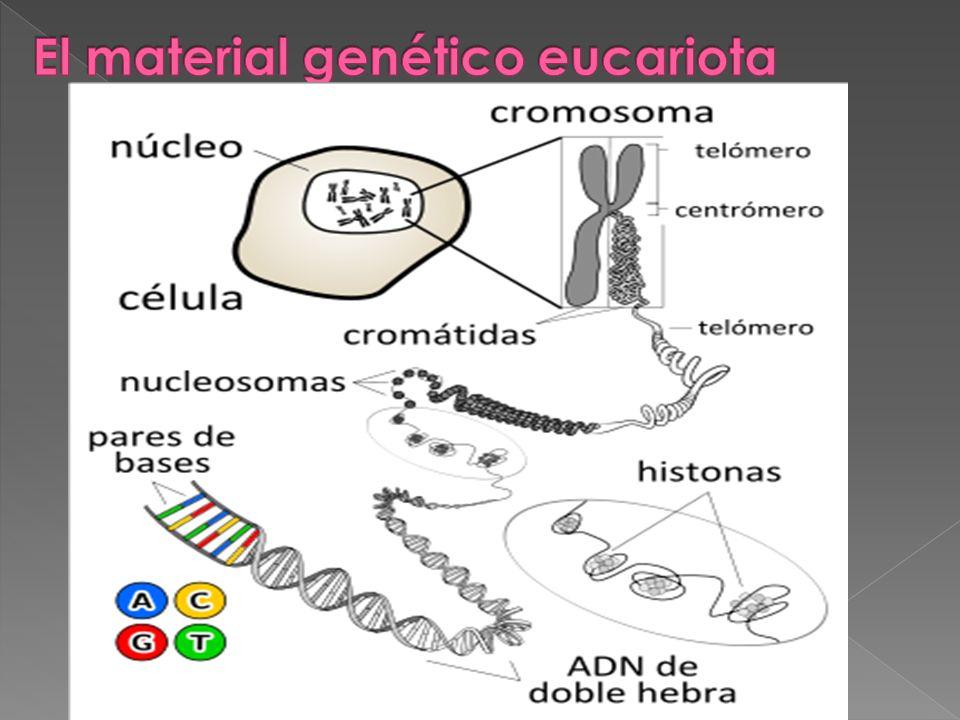 El material genético eucariota