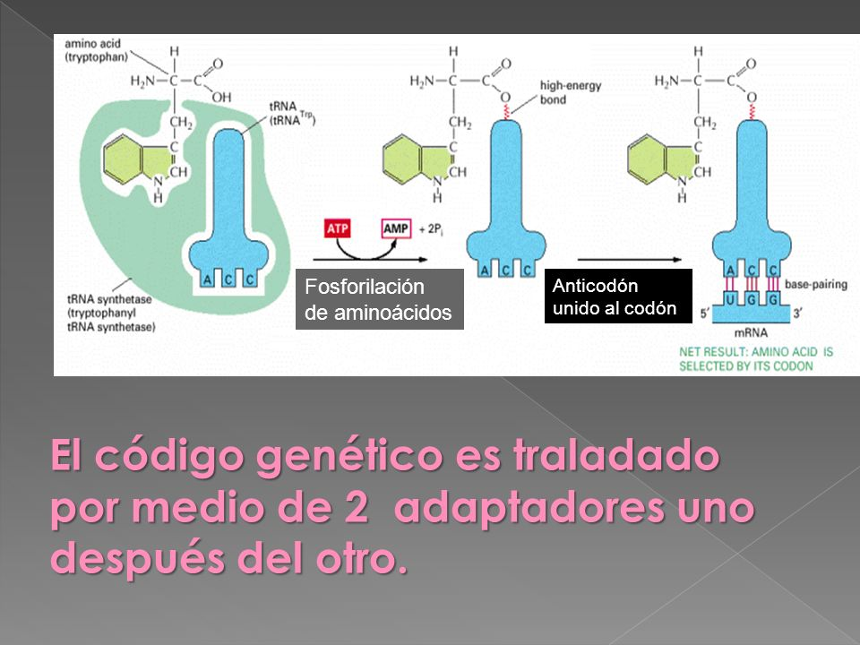 Fosforilación de aminoácidos