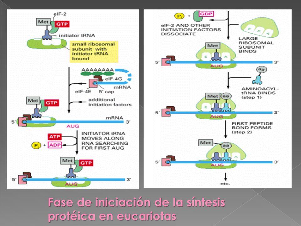 Fase de iniciación de la síntesis protéica en eucariotas