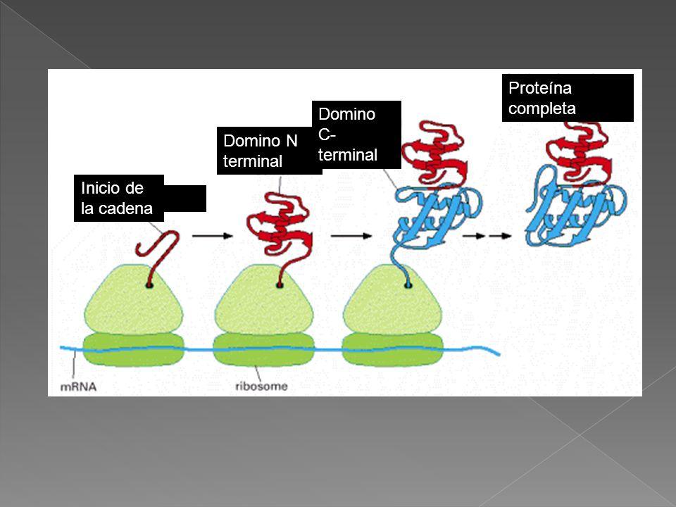 Proteína completa Domino C-terminal Domino N terminal Inicio de la cadena