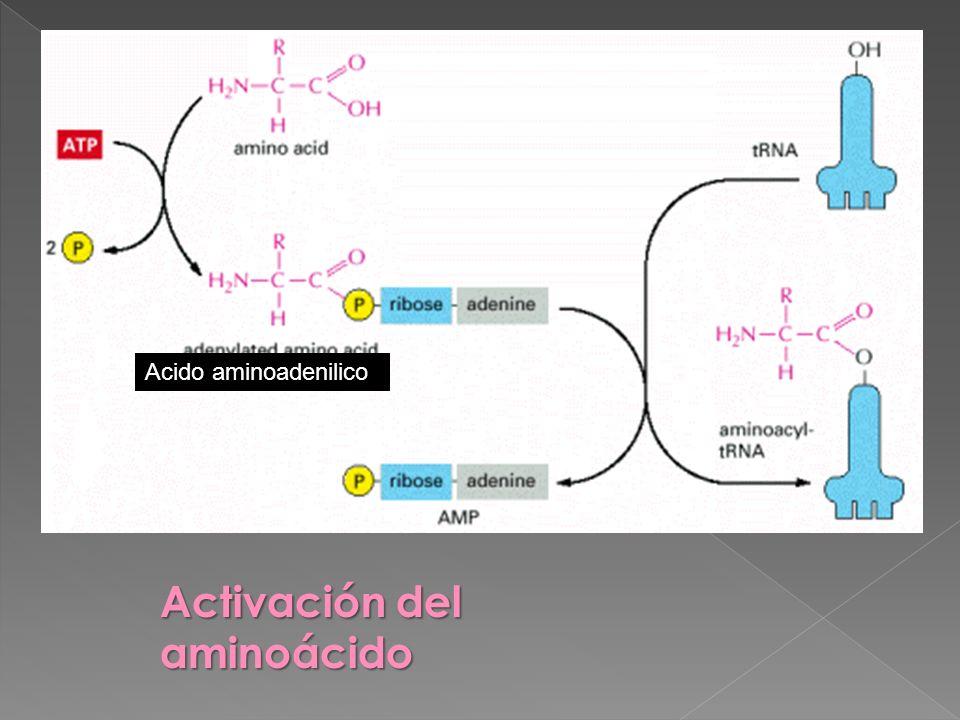 Activación del aminoácido
