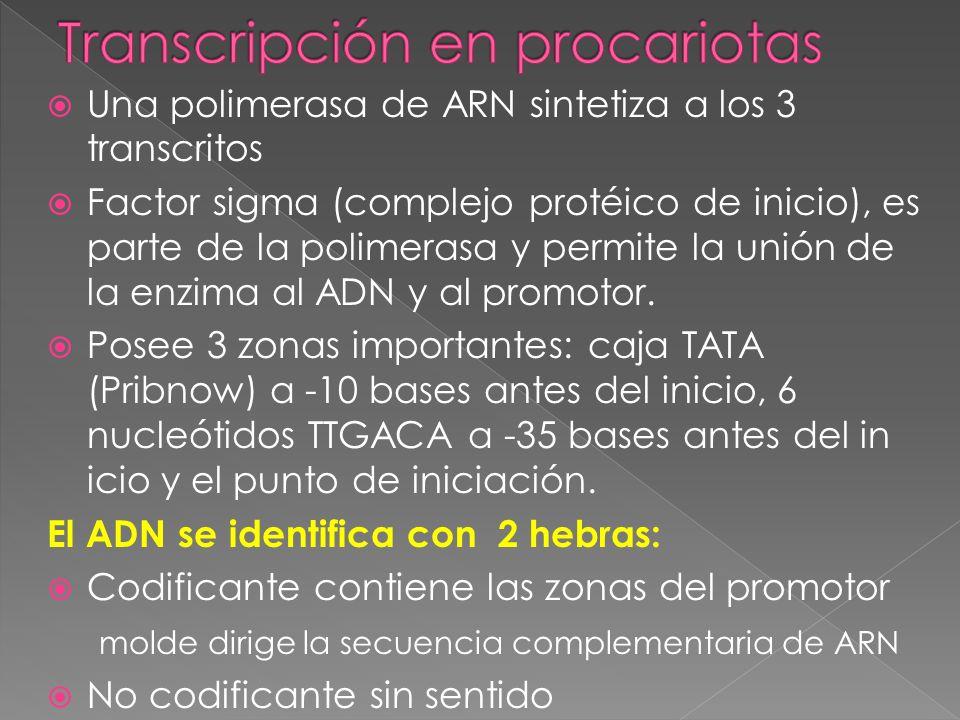 Transcripción en procariotas