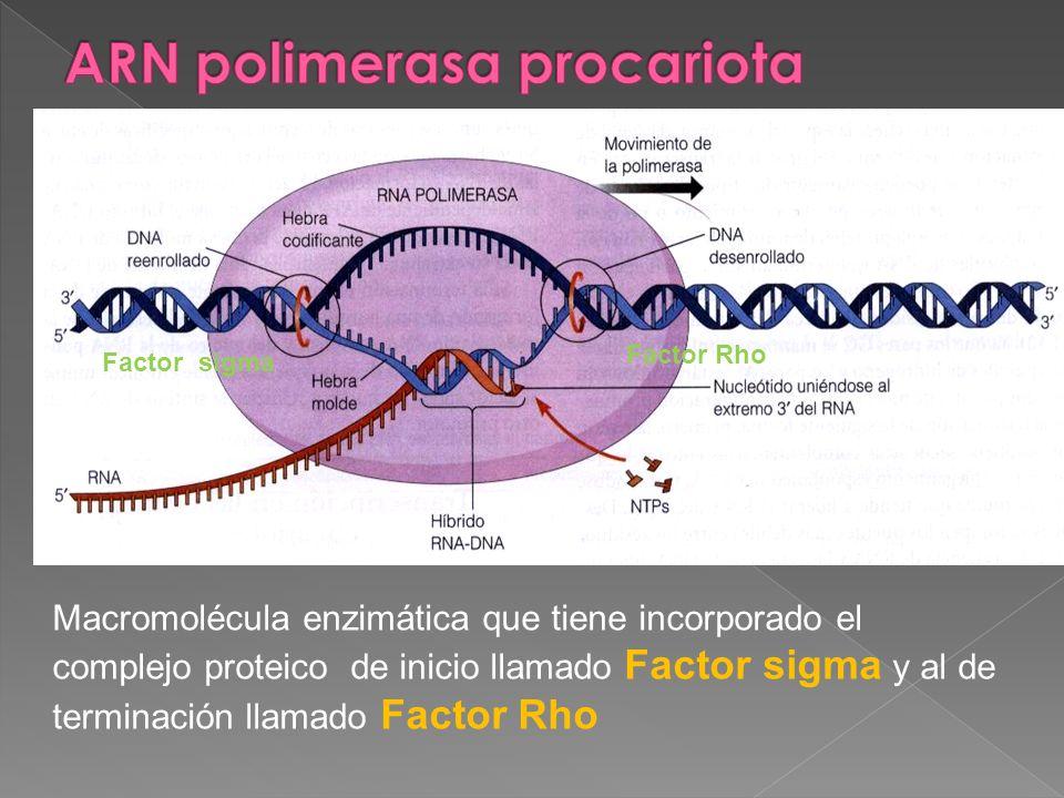 ARN polimerasa procariota