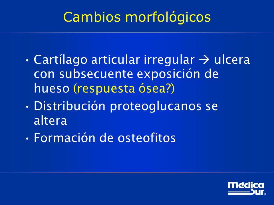 Cambios morfológicos Cartílago articular irregular  ulcera con subsecuente exposición de hueso (respuesta ósea )