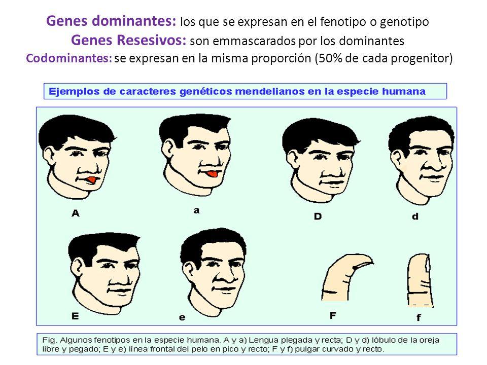 Genes dominantes: los que se expresan en el fenotipo o genotipo Genes Resesivos: son emmascarados por los dominantes Codominantes: se expresan en la misma proporción (50% de cada progenitor)