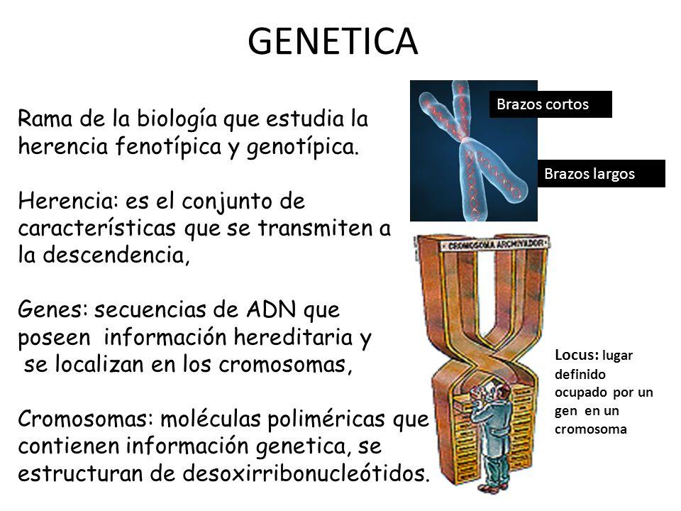 GENETICA Brazos cortos. Rama de la biología que estudia la herencia fenotípica y genotípica.