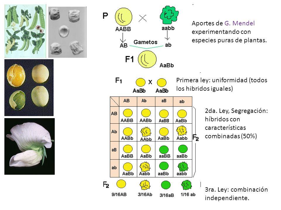 Aportes de G. Mendel experimentando con especies puras de plantas.