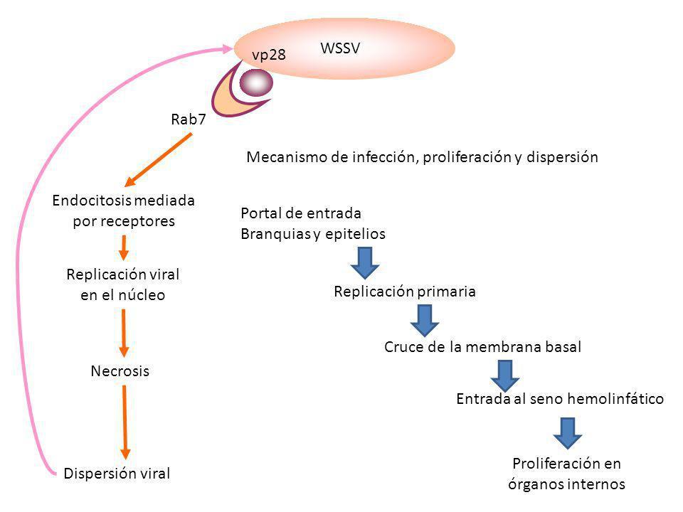 Mecanismo de infección, proliferación y dispersión